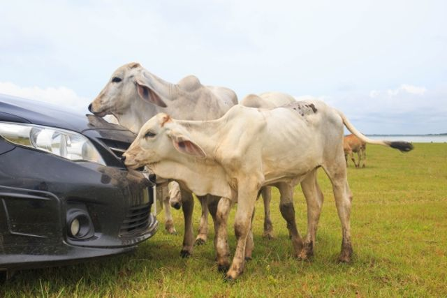 cows face off with a car