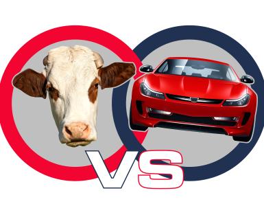 Cows vs Cars