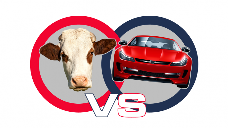 Cows vs Cars